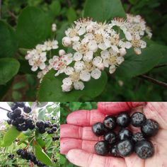 Temperate Climate Permaculture: Aronia