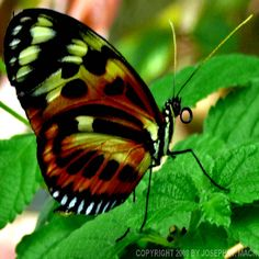 Exotic Butterflies | ... exotic butterflies can be seen at the butterfly garden in the