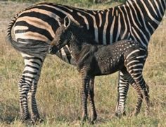 Are zebras always striped black and white? You might be surprised!