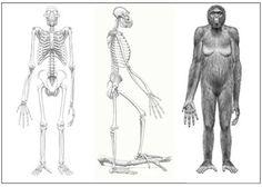 Hace 17 millones de años aumentamos nuestra estatura y nuestra cola se acorta. La comida escasea y sobreviven los mejor preparados (selección natural). Estamos en África, por lo que las temperaturas son altas y los árboles están dispersados. No fue hasta hace 4.4 millones de años que bajamos de los árboles, convirtiéndonos en los primero animales bípedos