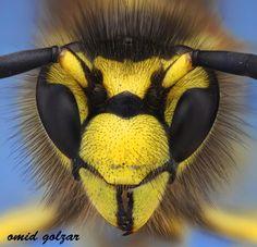 Incredible macro work by Omid Golzar! Wasp by Omid Golzar, via 500px