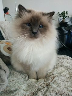 Fluffy birman