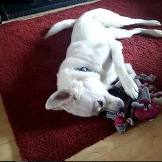 One of our many happy Ruby & Duke #Dukebox dog toy and treat customers @umnumnum. www.rubyandduke.com  #dogsofinstagram #dogstagram #dogs #dogsrule #doglove #doglovers #doglife #dogoftheday #doggy #doglover #doggie #dogscorner #dogofinstagram #dogsofinsta #dogwalk #dog_features #doggies #dogsandpals #dogloversofinstagram #dogdays #dogsofinstaworld #dogcrushdaily #dogslover