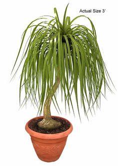 Ponytail Palm Care Tips - Beaucarnea recurvata Indoor Palm Trees, Small Palm Trees, Indoor Palms, Small Palms, Palm Tree Leaves, Indoor Flowers, Palm House Plants, Palm Plants, Plants Indoor