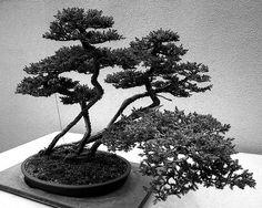 Bonsai Tree #bonsai #gardening