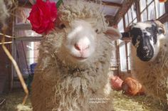 Home - Sweet Pea & Friends Lamb Chops, Lambs, Sheep, Funny Pictures, Sweet Home, Cute Animals, Friends, Amazing, Fanny Pics