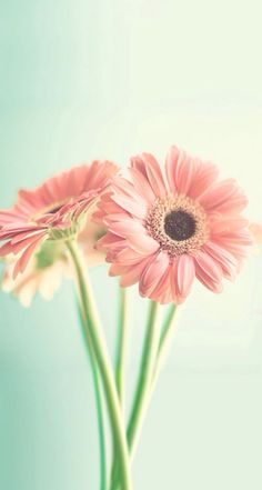 Simple wallpaper looks just as nice daisy wallpaper, spring wallpaper, iphone 6 wallpaper, Wallpaper Para Iphone 6, Frühling Wallpaper, Trendy Wallpaper, Custom Wallpaper, Phone Wallpapers, Spring Flowers Wallpaper, Summer Wallpaper, Flower Wallpaper, Flowers Quotes Tumblr