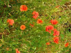 Klatschmohn (Papaver rhoeas) Blüten und Samenstand