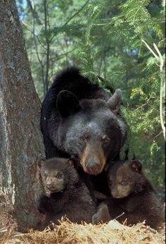 Bear and her 11-week old cubs - from bear.org
