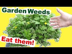 """The Herbal Survivalist Spot"": Foraging Wild Edibles: Fix your garden problem by eating the weeds Wild Lettuce, Taraxacum, Garden Weeds, Wild Edibles, Edible Plants, Drying Herbs, Natural Home Remedies, Fix You, Cool Plants"