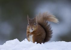 Red Squirrel in snow. by Richard McManus on 500px