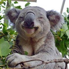 Un koala feliz..