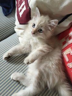 Siberian Cat sibirisk katt Neva masquerade