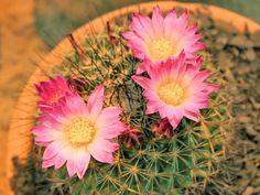 Confira quais são as principais técnicas para deixar seu cacto com flores e usufruir de uma das espécies mais belas e espetaculares da natureza em sua casa!