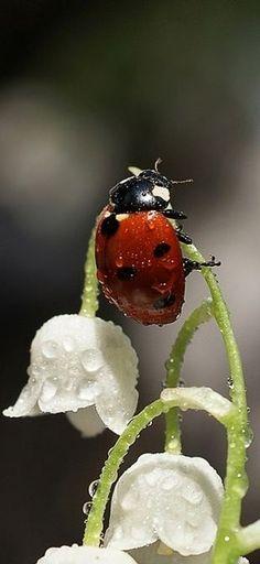LadyBug wet with dew, Amazing Shot!! facebook.com/loveswish