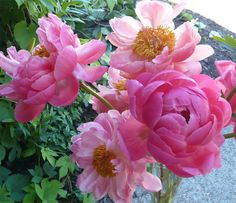 Coral Charm peonies. Love the delicacy of these.