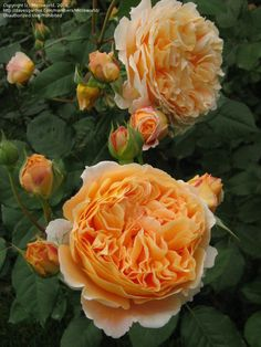 "David Austin English rose ""Crown Princess Margaretta"" photo by microworld Bucharest, Romania, May 2008"