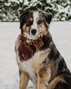 Forever living in a snow globe ••••••••••••••••••••••••••••••••••••••••••••••••••••••••••••• #aussie #aussienation #feature_aussiesofig… Aussie Puppies, Cute Puppies, Cute Dogs, Dogs And Puppies, Doggies, Blue Merle, Miniature Aussie, Australian Cattle Dog, Australian Shepherds