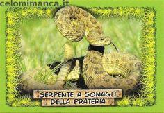 Amici Cucciolotti 2016: Fronte Figurina n. 234 Serpente a sonagli della prateria