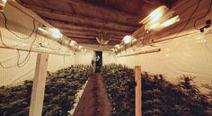 Marijuana Grow Operation In Underground Tunnels In Wales