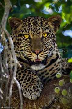 Seeing a Leopard in the Masai Mara was a dream come true. there are the hardest of the Big 5 to spot. | the Planet D: Adventure Travel blog