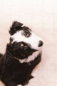 8 week old Moz   Border Collie from the group {GROUP} Border Collies - Best Dog Breed Ever!