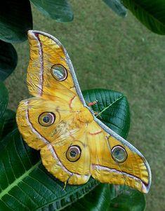 Silkworm Moth (Antheraea sp)