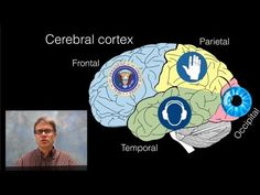 The Brain: In this video Paul Andersen explains the structures and functions of seventeen major parts of the brain. He begins with a quick discussion of brain evolution and ends with a review of the major parts presented inside the brainstem, cerebellum, thalamus, and cerebrum.