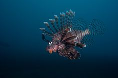 Lionfish by Kristoffer Larsen