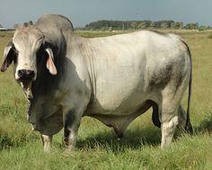Kempfer Cattle Company :: Brahman Sires in Deer Park, Florida