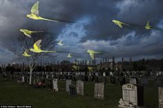 Rose-ringed parakeets in flight on their way to roost pass over an urban cemetery in January, 2014, in London, England