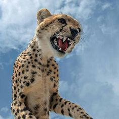 More close encounters by Marc MOL Animals And Pets, Baby Animals, Cute Animals, Big Cats, Cool Cats, Beautiful Cats, Animals Beautiful, Cheetahs, Leopards