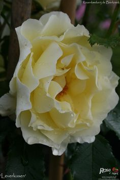 'Leverkusen' Rose Photo