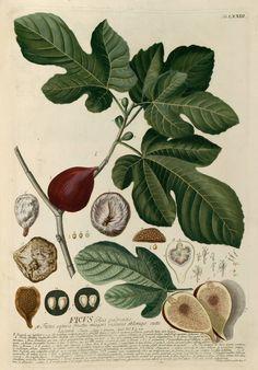 Figs, antique botanical illustration, 1800s