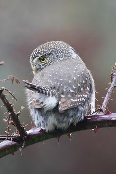 Cutest Little Owlet | Content in a Cottage #Owls
