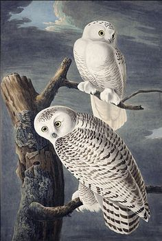 John James Audubon Snowy Owl oil painting for sale; Select your favorite John James Audubon Snowy Owl painting on canvas and frame at discount price. Audubon Prints, Audubon Birds, Owl Bird, Pet Birds, Bird Illustration, Illustrations, Birds Of America, John James Audubon, Owl Print