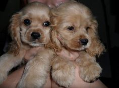 Cocker Spaniels -- my very favorite!  The one on the left looks like my dog, Zoie. <3