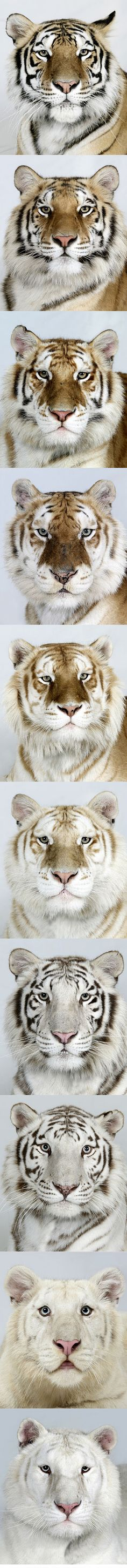Tigers come in all kinds of wonderful colors!