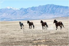 Line of Wild Horses, Brown Horses, Horse Photography, Rob's Wildlife, Gifts for Horse Lovers, Horse Wall Art Home Decor by RobsWildlife on Etsy https://www.etsy.com/listing/228817116/line-of-wild-horses-brown-horses-horse