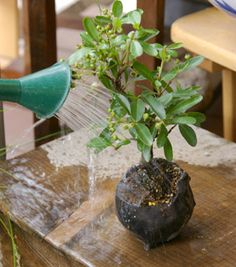 Easy to follow steps to create a Bonsai for beginners