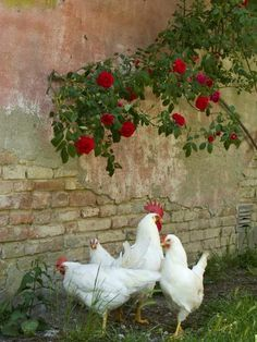 Farm animal art country living 23 new Ideas Best Egg Laying Chickens, Chickens And Roosters, Raising Chickens, Beautiful Chickens, Beautiful Birds, Farm Animals, Animals And Pets, Gallus Gallus Domesticus, Hens And Chicks