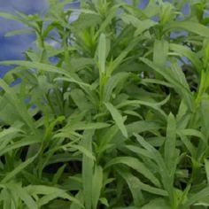 Tarhonul este dulce si aromat, amintind de fenicul, anason sau lemn-dulce.