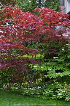 japanese maple bloodgood green   Bloodgood Japanese maple (Acer palmatum 'Bloodgood')   GreenFuse ...