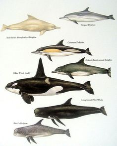Striped Dolphin, Indo Pacific Humpbacked Dolphin, Common Dolphin, Atlantic Bottle Nosed Dolphin, Killer Whale, Long Fanned Pilot Whale, Risso's Dolphin.....top to bottom....World Book Encyclopedia....via My Sunshine Vintage on ETSY