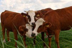 Drie koeien op de foto #cow #koe