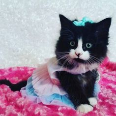 Little Cheryl Renay is bringing the cute!  Submitted by: Laurie Ann #kitten #kittensofinstagram #kittenlove #instakitten #catblog #cat #catlover #meow #cutekitten  #catstagram #catsofinstagram