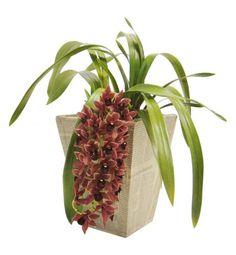 Cymbidium: Bastante variada em cores, sempre puxando para os tons terrosos, esta orquídea floresce especialmente em quedas bruscas de temperatura. Com hastes que chegam a dar 20 flores, atinge até 70 cm. Suas flores duram de 25 a 30 dias.  Deve ficar à meia-sombra, evitando o sol direto entre 11h e 14h. A rega depende do substrato que vem no vaso: casca de madeira absorve mais rápido a água, pedindo regas mais frequentes; já se for um musgo, fibra de coco ou xaxim, ela pode ser mais…