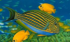 Image detail for -Min: Beautiful Birds, Fish, animals Photography, Colorful Birds Photos . Beautiful Tropical Fish, Beautiful Fish, Colorful Animals, Colorful Birds, Beautiful Creatures, Animals Beautiful, Fish Background, Background Images, Underwater Sea
