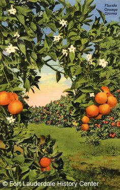 Florida Orange Groves ~ vintage postcard image