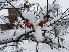 Seabuckthorn berries growing on the #GoMacro #FamilyFarm.